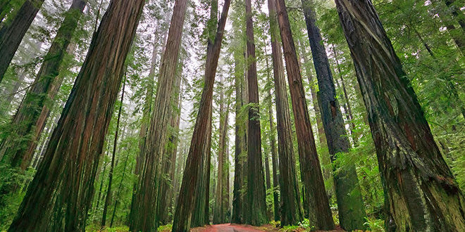 E1TYGR Redwood Trees, Humboldt Redwoods State Park, Avenue of the Giants, Mattole Road, California, USA, North America. Coast Redwoods,